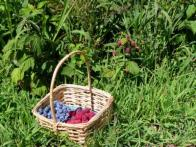 Picking: Blueberries and Raspberries