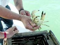 Everglades City Stone Crab